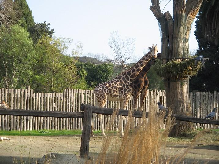 villa borghese zoo Giraffe Bioparco