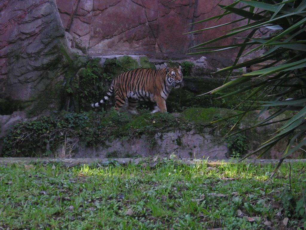 villa borghese park Tiger siberian Bioparco